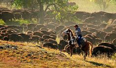Buffalo Roundup - Custer State Park, SD