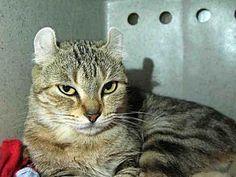 American Curl Cat for adoption at Pasadena Humane Society & SPCA, Pasadena, California - HONEY
