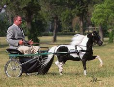 Wind River Miniature Driving horse. AMHA World Reserve Champion