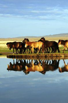 Les chevaux mongols dans le désert de Gobi