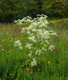 Gladzadige wilde kervel (Cow-weed) (giftig...) Fluitenkruid - Anthriscus sylvestris