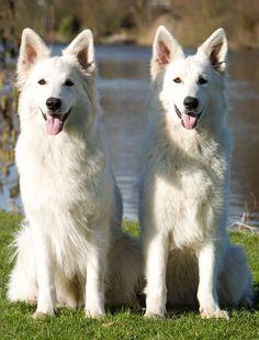 White-German-Shepherd-Dog