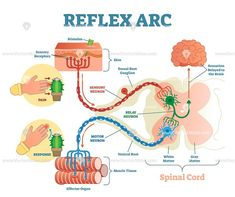 Find Spinal Reflex Arc Anatomical Scheme Vector stock images in HD and millions of other royalty-free stock photos, illustrations and vectors in the Shutterstock collection. Brain Anatomy, Human Anatomy And Physiology, Medical Anatomy, Cell Biology Notes, Spinal Cord Anatomy, Motor Neuron, Cerebral Cortex, Human Body Systems