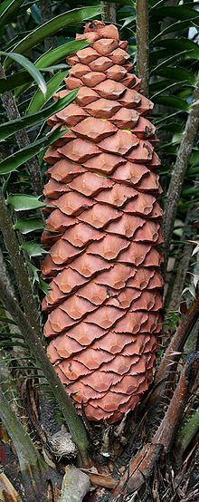 """Gymnosperms: group of seed-producing plants that includes conifers, cycads, Ginkgo, Gnetales; """"naked seeds""""; unenclosed condition of their seeds (ovules in their unfertilized state); gymnosperm seeds develop either on the surface of scales or leaves, often modified to form cones"""