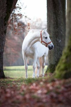 Pretty white horse by the tree path. (82) Horse Kingdom - Photos
