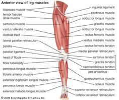 Lower limb muscles -anterior view