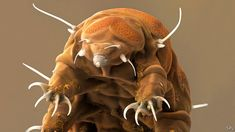 Water Bear Or Tardigrade by Science Photo Library : Water Bear Or Tardigrade Photograph Goblin Shark, Creepy, Scary, Tardigrade, Life On Mars, Science Photos, Beautiful Ocean, Sea Creatures, Photo Library