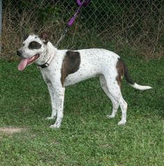 02/14/14 Princess  Pointer • Young • Female • Large  South Houston Animal Shelter South Houston, TX