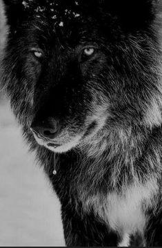 Black wolf represents your shadows. Beautiful Creatures, Animals Beautiful, Cute Animals, Wolf Spirit, Spirit Animal, Wolf Goddess, Wolf Hybrid, Bark At The Moon, Wolf Husky