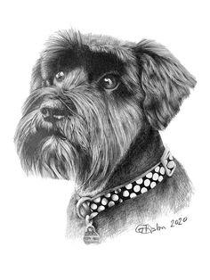 Pet Portrait of a Miniature Schnauzer - Garry's Pencil Drawings Drawing Commissions, Miniature Schnauzer, Beautiful Drawings, Pencil Portrait, Pet Portraits, Pencil Drawings, Miniatures, Pets, Minis