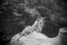 Coyote resting - Coyote resting Photography Portfolio, Kangaroo, Rest, Animals, Baby Bjorn, Animales, Animaux, Animal, Animais
