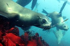 Book your swimming with seals trip today with Pisces Divers at Cape Point in Cape Town, South Africa - Dirty Boots Snorkeling, Ostriches, Colorful Fish, Nature Reserve, Cape Town, Scuba Diving, Great Places, South Africa, Swimming