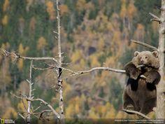 Medvěd na stromě