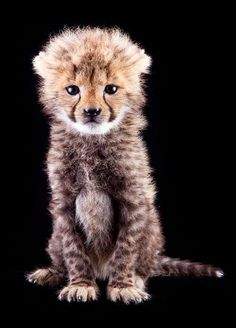 beautiful little Cheetah cub     From Zooborns    via Robin Evans