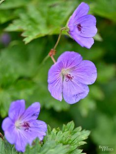 When it comes to flower power, few perennials can compare to Cranesbill Geranium. These little beauties rarely grow more than 2 feet tall, but they put on a big show in the garden because they always seem to be smothered in flowers. Cranesbill Geranium comes in a wide variety of colors, including white, pink, blue, lavender, purple, red, and bicolor; all varieties sport interesting, lobed foliage. They are super hardy and thrive in full sun or light shade. After the first flush of bloom some…