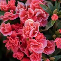 Godetia Grace Salmon Flower Farm Flower Food Flower Petals