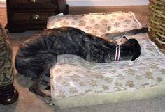 Just a typical greyhound bed fail. #greyhounds #galtx