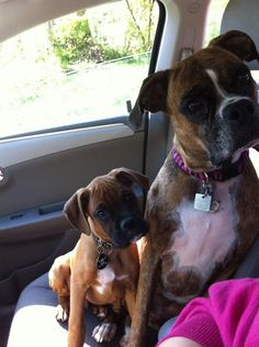 boxer and puppy. Love how they both have their heads cocked the same way. They are loveable when you get past their mugs.  They don't do well being alone, and do much destruction.