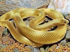 A photo of a beautiful and unbelievable snake with bright gold skin has surfaced online. Is this golden snake real or a hoax? Beautiful Creatures, Animals Beautiful, Cute Animals, Wild Animals, Golden Snake, Snake Photos, Cool Snakes, Colorful Snakes, Beautiful Snakes
