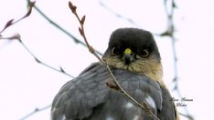 COOPERS HAWK CLOSEUP  Natural Aerial Hunter by DaveGomeauPhotos