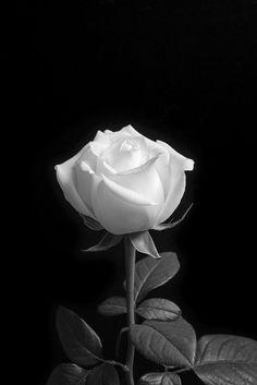Flor Preta Nomes Tipos De Luto E Branca Fotos Dicas