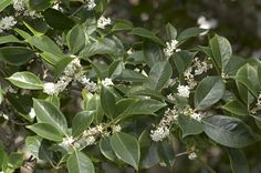 Fragrant Olive - Monrovia -  One shrub will perfume the whole garden, blooms spring and fall here in Texas...heavenly fragrance!