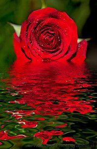 Rose reflect