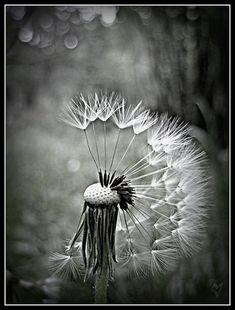 dandelion!