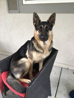 German Shepherds are awesome