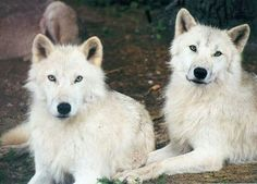 Shadow and Malik....two arctic wolves brought to the Center together....
