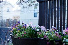 雨上がり、今朝のビオラとアリッサム達。ご近所のお家も一緒に。#garden #gardening #viola #morninglight #雨上がり #flowers #ガーデニング #花部 #園芸部 #ビオラ #アリッサム #花のある暮らし