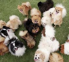 pomeranians - your dream world!!! Pinterest must be channeling you today!@Stephanie Close Miles