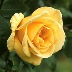 Lady Hillingdon Bush - David Austin Roses