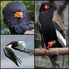 Bateleur Eagle (NT) Raptors, Vulnerability, Bald Eagle, Parrot, Bird, Animals, Parrot Bird, Animales, Animaux