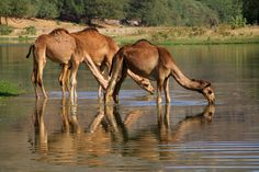 https://flic.kr/p/kwCv2D | Wadi Darbat, Oman |  Buy this photo on Getty: Getty Images     Dromedaries drinking, standing in the river, Wadi Darbat, Oman   submitted  21/04/2014   accepted 09/05/2014  Published: - yeowon media (Korea, Republic of) 26-Nov-2015