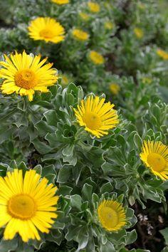 Wild Marigold (Calendula officinalis) on the Canary Islands.