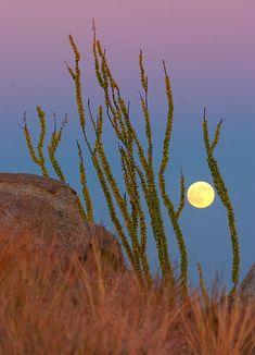Moonrise / Sunset with Ocotillo - Taken in the Sierrita Mountains, near Tucson.