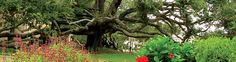 Friendship Oak - 59 feet high with a  spread of 155 feet of foliage.  Long Beach, MS