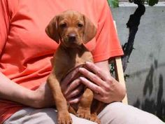 hungarian vizsla puppies for sale - Google Search