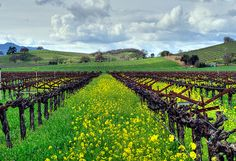 Nothing is more beautiful than Sonoma when the wild mustard is in bloom.