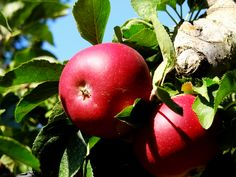 Arkansas Black Apples Available While October Harvest Continues at Boa Vista Orchards in Beautiful Apple Hill California! Stay Tuned for Our Last Apple Variety Harvested, the Pink Lady Apples!