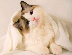 تربية القطط في الوطن العربي من الأشياء التي جعلت موقع عشاق القطط حول العالم يهتم بنشر مواضيع لماسعدة الناس وتعليمهم كيفية التعامل مع حيوناتهم الأليفة. #قطط