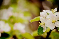 Apple tree blossoms. Picture taken by yours truly. :) Nikon D3200. #myphotograohy #appletreeblossom #NikonD3200