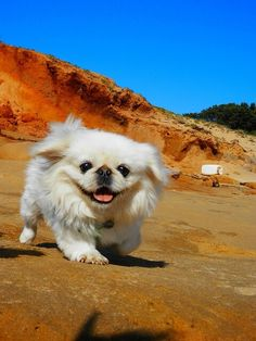 gorgeous peke!