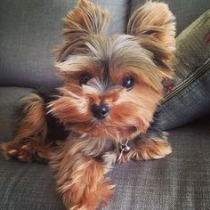 Image Reasons Why You Should Never Own Yorkshire Terriers. JUST TOO CUTEImage of the cutest small dog breeds on the planetImage viaYorkshire terrier by ana. Cutest Small Dog Breeds, Cute Small Dogs, Cute Dogs, Small Breed Dogs, Yorky Terrier, Yorshire Terrier, Teacup Puppies, Cute Puppies, Little Dogs