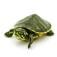 Aquatic turtles for sale online cheap, buy baby aquatic turtles, water turtle breeders near me live turtles for sale and baby freshwater turtle store. Baby Turtles For Sale, Baby Sea Turtles, Yellow Bellied Slider, Red Eared Slider, Colorful Fish, Tropical Fish, Freshwater Turtles, Freshwater Aquarium, Aquarium Fish