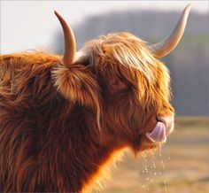 Jus' pickin' my nose Scottish Highland Cow, Highland Cattle, Cow Pictures, Animal Pictures, Cow Pics, Farm Animals, Animals And Pets, Cute Animals, Fluffy Cows
