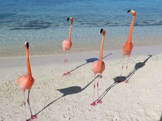 Looking for the best stretch of sand in Aruba? Follow the flamingos! Book a stay at  Renaissance Aruba Resort & Casino  and you'll have access to Renaissance Island, home of Flamingo Beach. This private slice of paradise has an on-site bar and restaurant and is home to a friendly flock of flamingos that you can feed while sipping blender drinks in the sun. #MyTripAdvice