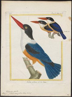 loverofbeauty:  The Black-capped Kingfisher (Halcyon pileata)