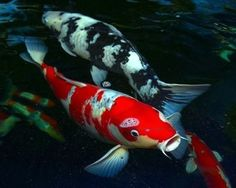 "Koi fish are the domesticated variety of common carp. Actually, the word ""koi"" comes from the Japanese word that means ""carp"". Outdoor koi ponds are relaxing. Betta, Koi Fish Pond, Fish Ponds, Coy Fish, Fish Garden, Garden Pond, Water Garden, Pez Koi Real, Animals"
